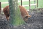 Mangalitsa varkens bij Remeker